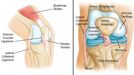 knee-anatomy