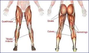 leg muscle groups.jpg